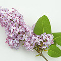 Lilac Flowers - White Background by Keith Webber Jr