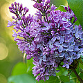 Lilac Heaven by Penny Meyers