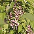 Lilac In Spring by Dan Radi
