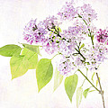 Lilac by Julie Woodhouse
