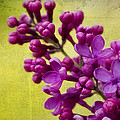 Lilac by Katy Jane Conlin