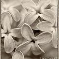 Lilac Macro Sepia Tone by Iris Richardson