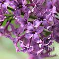 Lilac Meditation Aroma by Renee Croushore