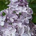 Lilac  by Nicki Bennett