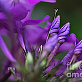 Lilac Petals And Purple Buds by Kaye Menner
