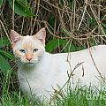 Lilac Point Siamese Cat by Andrew  Michael
