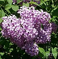 Lilac Ready For A Closeup by Laurie Eve Loftin