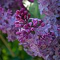 Lilac by Shelly Fox