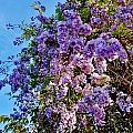 Lilac Tree by Lois    Rivera
