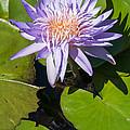Lilac Water Lily by Robert VanDerWal