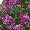 Lilacs At Hulda Klager Lilac Garden by Elizabeth Rose