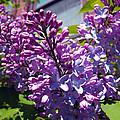 Lilacs by Barbara McDevitt