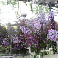 Lilacs Hanging Basket Window Reflection - Dreamy Lilacs Floral Art by Kathy Fornal