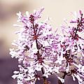 Lilacs by Jennifer Coleman