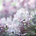 Lilacs by Sylvia Cook