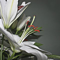 White Lilies by Terri Waters