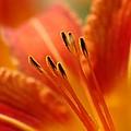 Lilies Heart by Edward Loesch