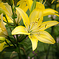Lilies In The Sun by Shirley Tinkham