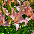 Lilies by M Dale