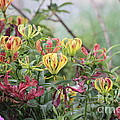 Lilies Of Color by Dwight Cook