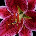 Lilium Pink Stargazer by Sharon Mau