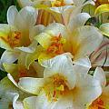 Lilium Regale by Cynthia Wallentine