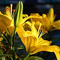 Lillies Of Gold by Billie Colson