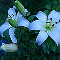 Lillies by Richard Headley