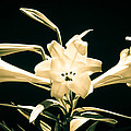Lilly And Light by Bill Pevlor