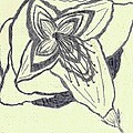 Lilly Artistic Doodling Drawing by Joseph Baril