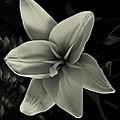 Lilly In Black And White by David Dehner