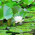 Lilly Pad by Elizabeth Dow