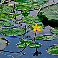 Lilly Pad Pond by Frozen in Time Fine Art Photography