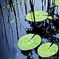 Lilly Pad Pond by Tim Hester