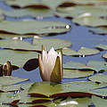 Lilly Pad With Bloom by Daralyn Spivey
