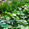 Lilly Pads by Bonnie Willis