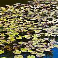 Lilly Pads by David Pyatt
