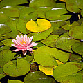 Lilly Pond Pink by Peter Tellone