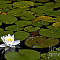 Lily And Pads by Cheryl Baxter