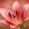 Lily by Ann Lauwers