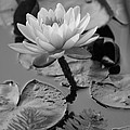 Lily Bw by Carolyn Stagger Cokley