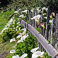 Lily Fence by Mike Ronnebeck