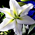 Lily by FL collection
