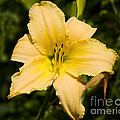 Lily For A Day by Joe Geraci