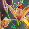 Lily From The Garden by Randy Walton