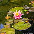 Lily In Pond by Ty Korte