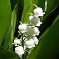 Lily Of The Valley 1 by Laura Yamada