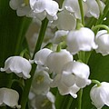Lily Of The Valley 3 by Laura Yamada