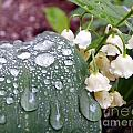 Lily Of The Valley After The Rain by Renee Croushore