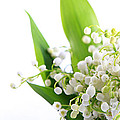 Lily Of The Valley Art by Boon Mee
